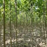 七叶树基地直销 6-10公分七叶树