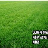 黑麦草草坪价格  江苏黑麦草批发供应