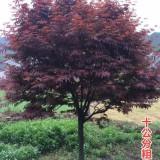 高3米红枫价格多少钱一棵 红枫基地报价