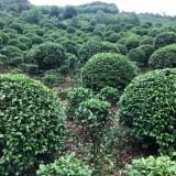 冠幅150公分茶花球价格 湖南茶花球种植基地