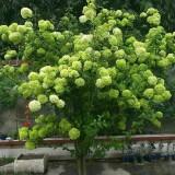 8公分木本绣球树价格 木本绣球多少钱一棵