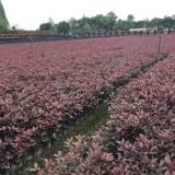 高30公分红花继木小苗价格多少钱一棵
