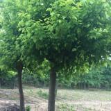 糖槭树基地批发  糖槭树多少钱一棵