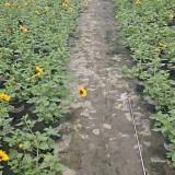 多年生向日葵价格 矮化向日葵基地直销