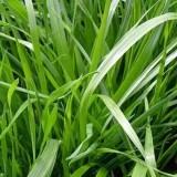广西黑麦草种植基地  黑麦草批发价格