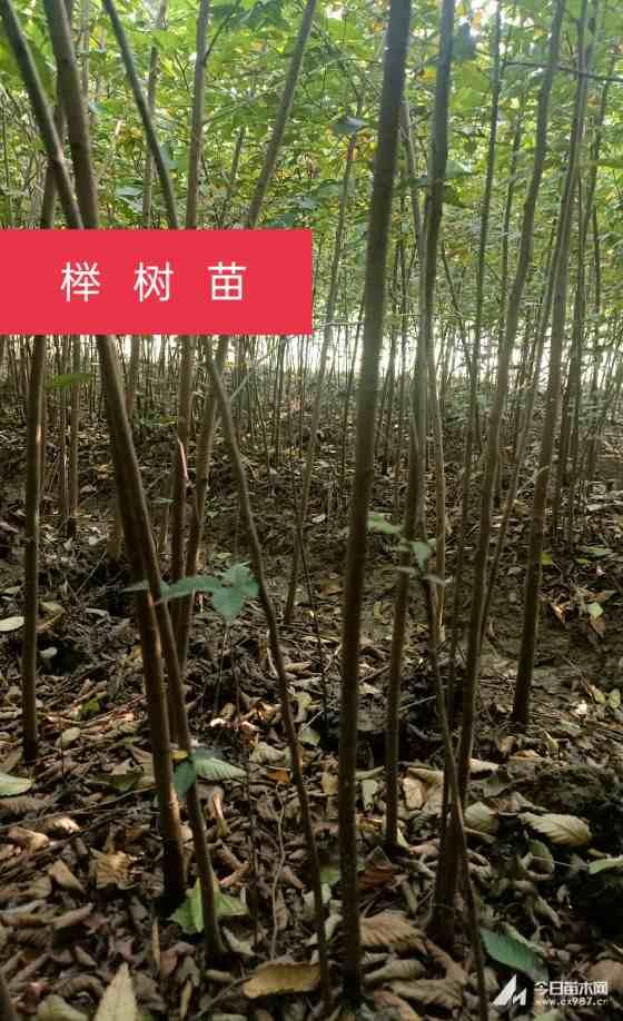 榉树,二年生榉树苗,绿化造林用苗,3元一棵