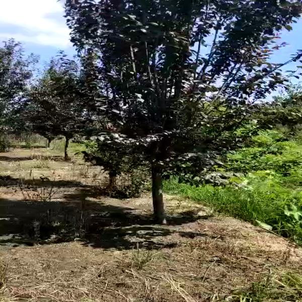 哪里有卖紫叶李树苗 基地批发供应紫叶李树苗
